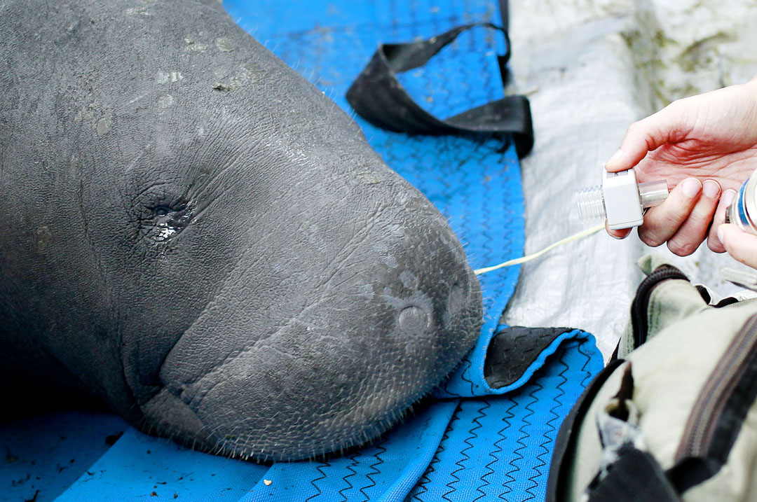 A manatee looks around while being examined during the USGS manatee captures and health assessments on Wednesday, Dec. 9, 2015 in Crystal River, FL. Oxygen is given to the animal each time it takes a breath. A team of scientists, veterinarians and volunteers spent two days capturing manatees to gather health data. This was the 10th year of the assessments. The program monitors the status of the regional population of Florida manatees. Matt Stamey/Staff photographer
