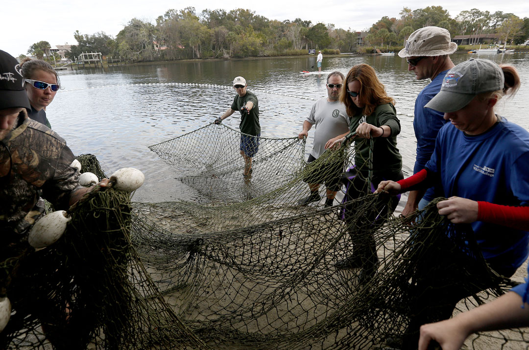 The capture net is pulled on shore on the team's first attempt during the USGS manatee captures and health assessments on Wednesday, Dec. 9, 2015 in Crystal River, FL. A team of scientists, veterinarians and volunteers spent two days capturing manatees to gather health data. This was the 10th year of the assessments. The program monitors the status of the regional population of Florida manatees. Matt Stamey/Staff photographer