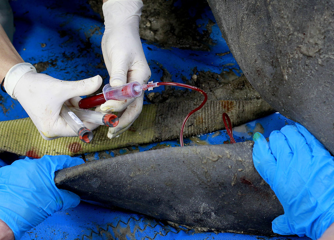 A veterinarian draws blood from a manatee during the USGS manatee captures and health assessments on Wednesday, Dec. 9, 2015 in Crystal River, FL. A team of scientists, veterinarians and volunteers spent two days capturing manatees to gather health data. This was the 10th year of the assessments. The program monitors the status of the regional population of Florida manatees. Matt Stamey/Staff photographer