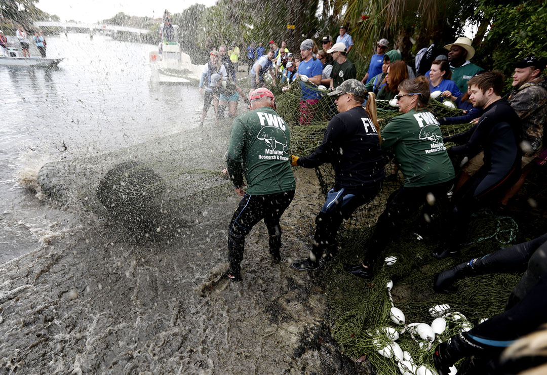 A captured manatee thrashes around after being caught during the USGS manatee captures and health assessments on Wednesday, Dec. 9, 2015 in Crystal River, FL. A team of scientists, veterinarians and volunteers spent two days capturing manatees to gather health data. This was the 10th year of the assessments. The program monitors the status of the regional population of Florida manatees. Matt Stamey/Staff photographer