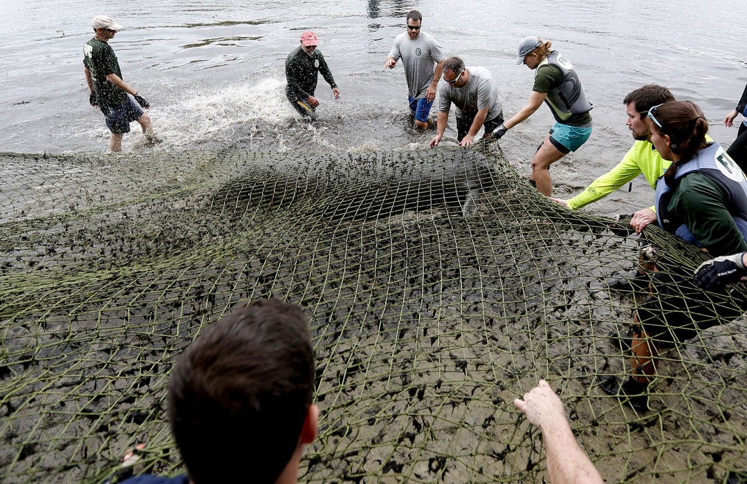 A manatee lies on the beach as workers prepare to move it farther on shore during the USGS manatee captures and health assessments on Wednesday, Dec. 9, 2015 in Crystal River, FL. A team of scientists, veterinarians and volunteers spent two days capturing manatees to gather health data. This was the 10th year of the assessments. The program monitors the status of the regional population of Florida manatees. Matt Stamey/Staff photographer