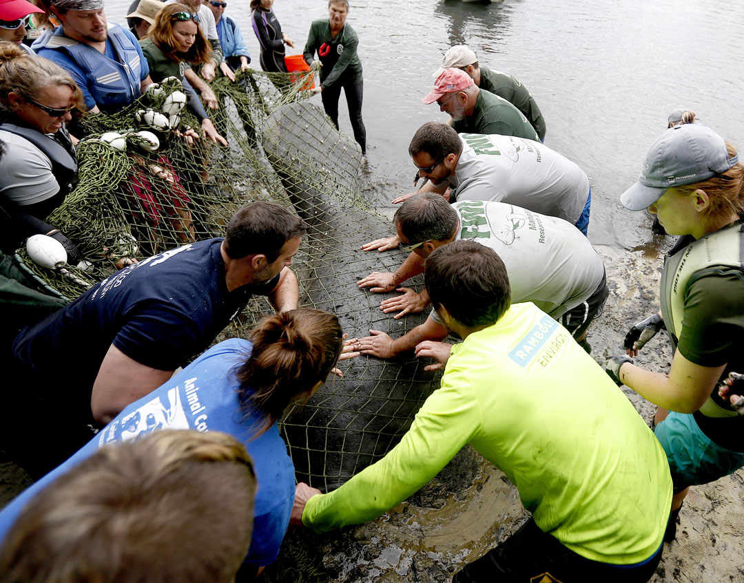 Workers position the manatee on shore to remove the net during the USGS manatee captures and health assessments on Wednesday, Dec. 9, 2015 in Crystal River, FL. A team of scientists, veterinarians and volunteers spent two days capturing manatees to gather health data. This was the 10th year of the assessments. The program monitors the status of the regional population of Florida manatees. Matt Stamey/Staff photographer
