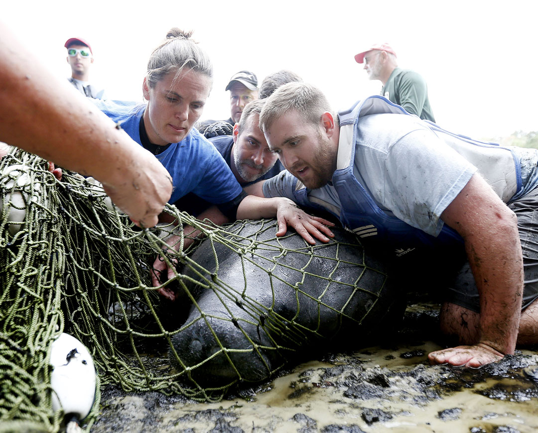 Workers lie on the manatee to prevent him from trashing around while removing the net during the USGS manatee captures and health assessments on Wednesday, Dec. 9, 2015 in Crystal River, FL. A team of scientists, veterinarians and volunteers spent two days capturing manatees to gather health data. This was the 10th year of the assessments. The program monitors the status of the regional population of Florida manatees. Matt Stamey/Staff photographer