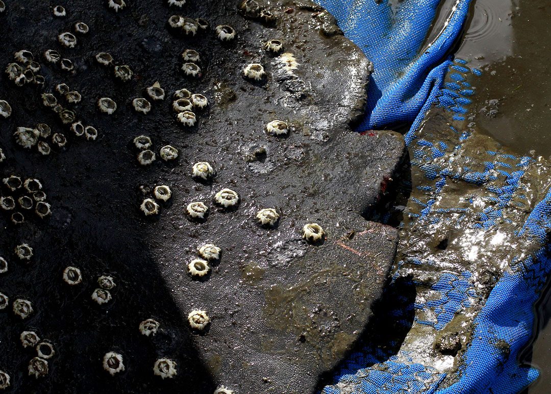 Barnacles are seen on the tail of a manatee during the USGS manatee captures and health assessments on Wednesday, Dec. 9, 2015 in Crystal River, FL. A team of scientists, veterinarians and volunteers spent two days capturing manatees to gather health data. This was the 10th year of the assessments. The program monitors the status of the regional population of Florida manatees. Matt Stamey/Staff photographer