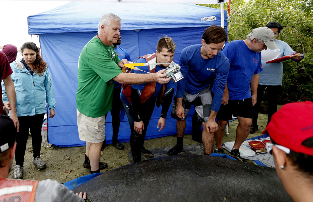 Dr. Robert Bonde takes a photo of the back of a manatee during the USGS manatee captures and health assessments on Wednesday, Dec. 9, 2015 in Crystal River, FL. A team of scientists, veterinarians and volunteers spent two days capturing manatees to gather health data. This was the 10th year of the assessments. The program monitors the status of the regional population of Florida manatees. Matt Stamey/Staff photographer