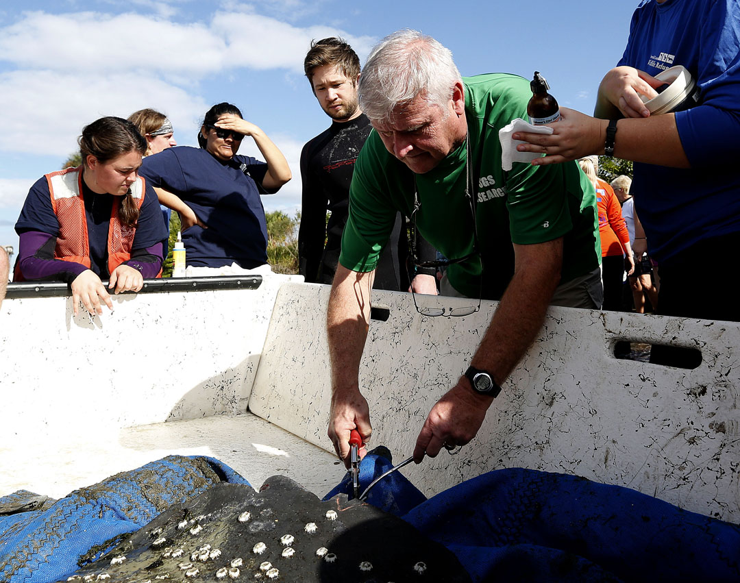 Dr. Robert Bonde cuts a wedge sample from the tail of a manatee during the USGS manatee captures and health assessments on Wednesday, Dec. 9, 2015 in Crystal River, FL. A team of scientists, veterinarians and volunteers spent two days capturing manatees to gather health data. This was the 10th year of the assessments. The program monitors the status of the regional population of Florida manatees. Matt Stamey/Staff photographer