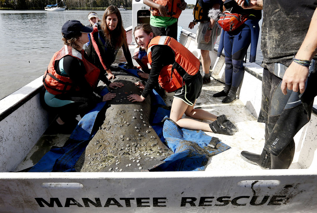 Team members sit with a manatee as it's taken out into the water to be released during the USGS manatee captures and health assessments on Wednesday, Dec. 9, 2015 in Crystal River, FL. A team of scientists, veterinarians and volunteers spent two days capturing manatees to gather health data. This was the 10th year of the assessments. The program monitors the status of the regional population of Florida manatees. Matt Stamey/Staff photographer