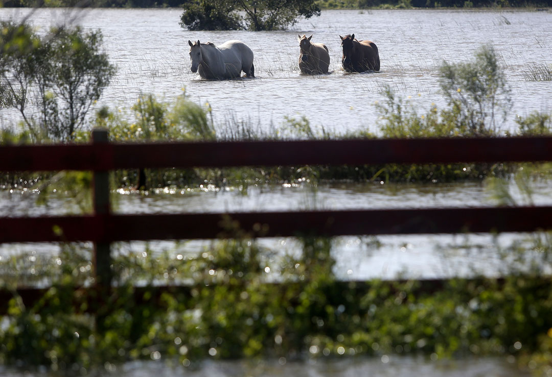 Horses walk through a flooded field off SR207 after Hurricane Matthew on Friday, Oct. 8, 2016 in St. Spuds, FL. Matt Stamey/Gainesville Sun