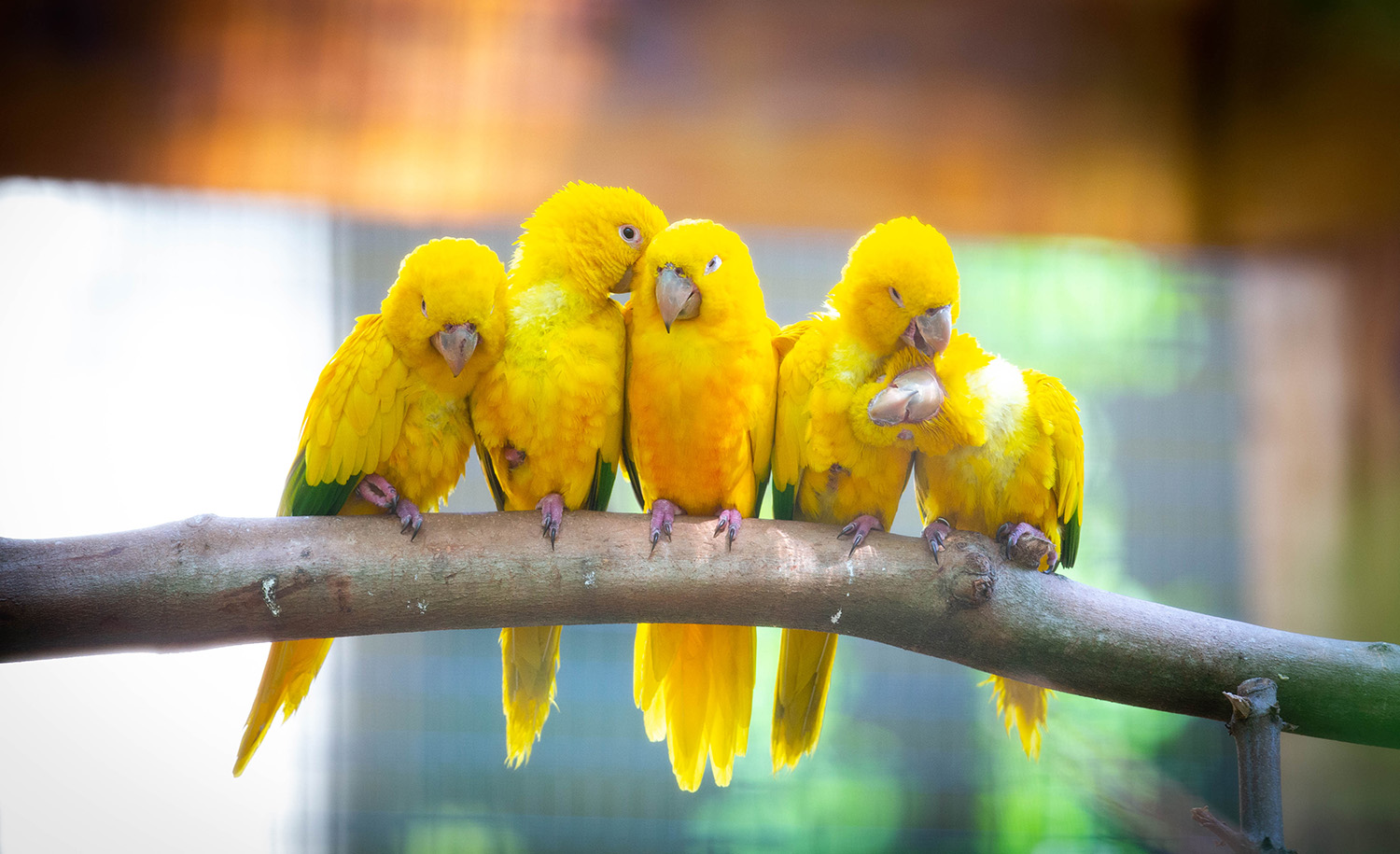 Golden conures parrots sit on a branch in their new enclosure at the Santa Fe College Teaching Zoo on April 28, 2020 in Gainesville, Fla.  (Matt Stamey/Santa Fe College )