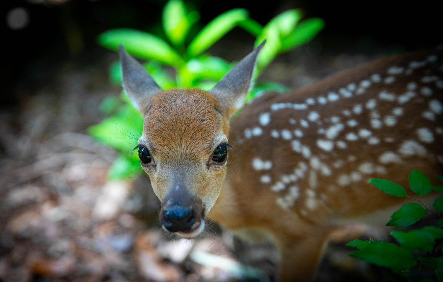 A Key Deer Fawn at the Santa Fe College Teaching Zoo on May 14, 2020 in Gainesville, Fla. (Matt Stamey/Santa Fe College )