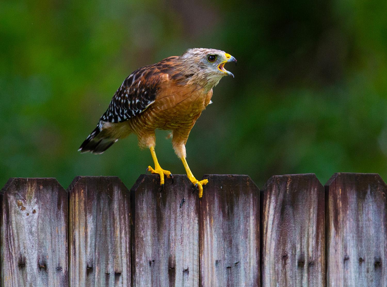 Hawk, backyard, frog, hawk eats frog