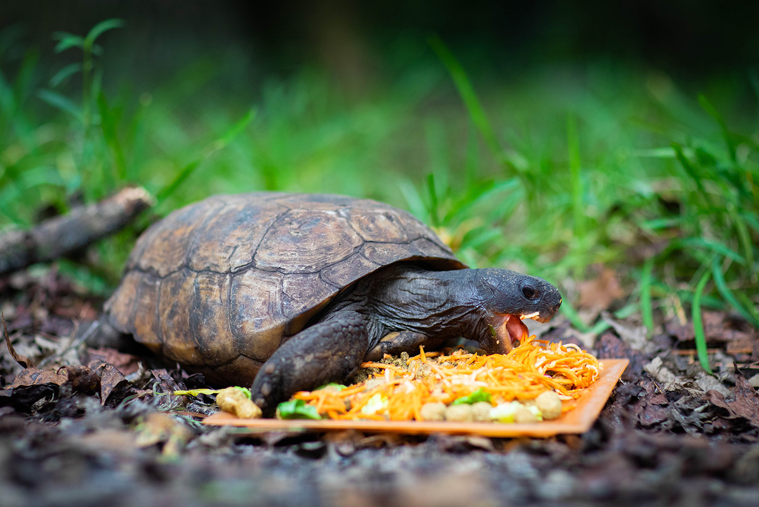A Gopher Tortoise eats a meal at the Santa Fe College Teaching Zoo on Sept. 16, 2020 (Matt Stamey/Santa Fe College ) ***Subjects Have Releases***