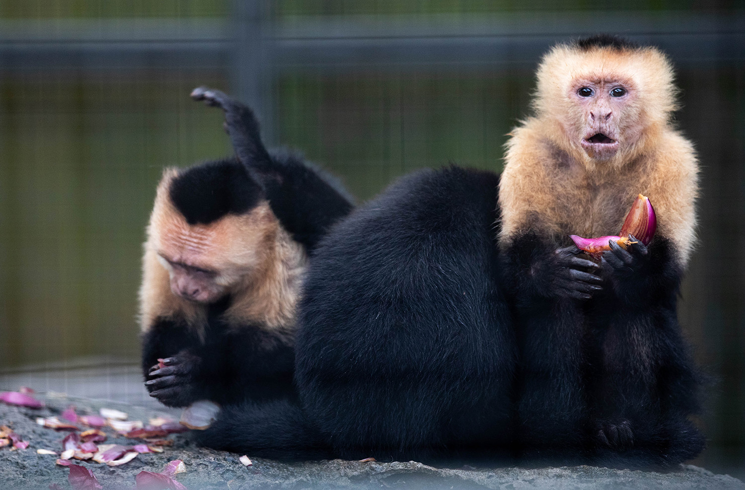 White-Throated Capuchins eat red onions and spread the scent over themselves at Santa Fe College Teaching Zoo prior to their reopening seen on Sept. 28, 2020 (Matt Stamey/Santa Fe College ) ***Subjects Have Releases***